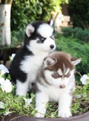 Husky Welpe-
