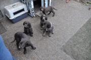 Jagdhunde Welpen