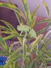 Jemenchameleon Baby