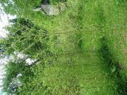 Junge Bambus-Pflanzen 2-3m für Hecke