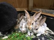 Junge Hasen/Kaninchen