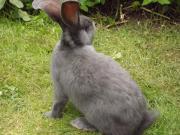 Kaninchen, Deutscher Riese-