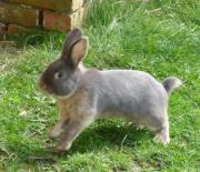 Kaninchen mittelgroße Rasse