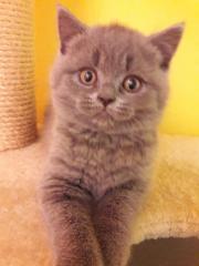 Kartäuser Kitten-Babys
