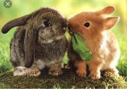kastrierte Kaninchen Männchen