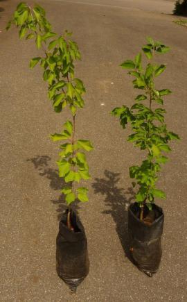 Kirschbaum Kirschbäumchen Baum Bäumchen Kirsche: Kleinanzeigen aus Sinsheim - Rubrik Pflanzen