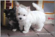 Kleine Yorkshire Terrier