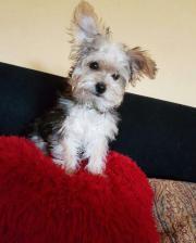 kleiner yorkshire terrier