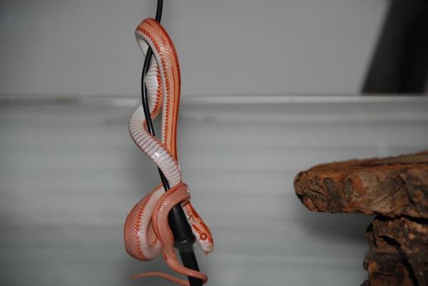 Kornnattern / Bambusnattern » Reptilien, Terraristik