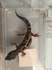 Leopard Gecko Zuchtgruppe