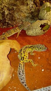 Leopardengeckos