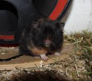 Liebe Handzahme Hamster