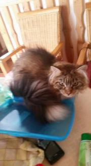 Maine-Coon Kater