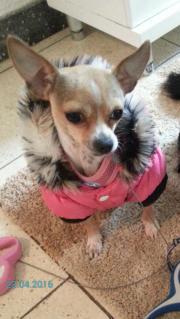 mini kurzhaar Chihuahua