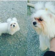 mini maltese hund)