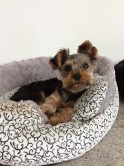 Miniyorkshire Terrier zum