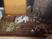 Nestjunge Hamsterbabys dsungarische