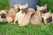 Neun Französische Bulldoggen