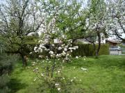 Obstbäume Veredelt diverse