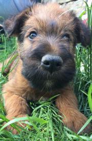 Reinrassige Irish Terrier