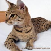 Reinrassige Savannah Kitten