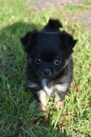 Reinrassiger Chihuahua Rüde