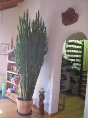 riesiger Kaktus / Wolfsmilchgewächs