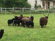 Schafe - Zackelschafe - 3