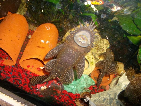 abzugeben welse kleinanzeigen aquaristik kaufen verkaufen bei deinetierwelt. Black Bedroom Furniture Sets. Home Design Ideas