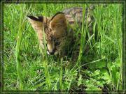 Serval Kitten, Handaufzucht