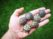 süße griechische Landschildkröten weiblich