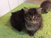 Süße Katzenbabies