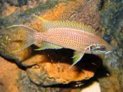 Tanganjika: Neolamprologus brichardi