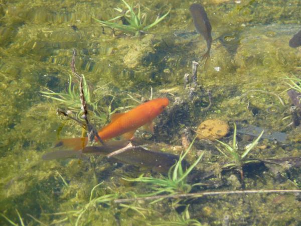 Aquaristik in lorsch hessen kaufen bei deinetierwelt for Kleine teichfische