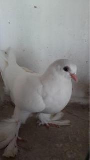 Usbekische Taube zu