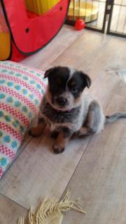 Verkaufe AustralianCattle Dog