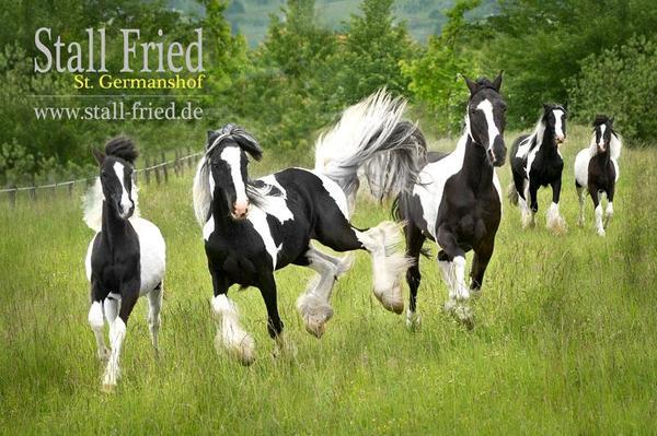Verschiedene IRISH TINKER » Pferde