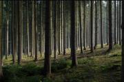 Waldgrundstück mit Fichtenbestand