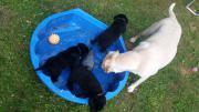 Wunderschöne Labrador Welpen :-)