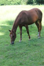 Wunderschöne Quarter Horse