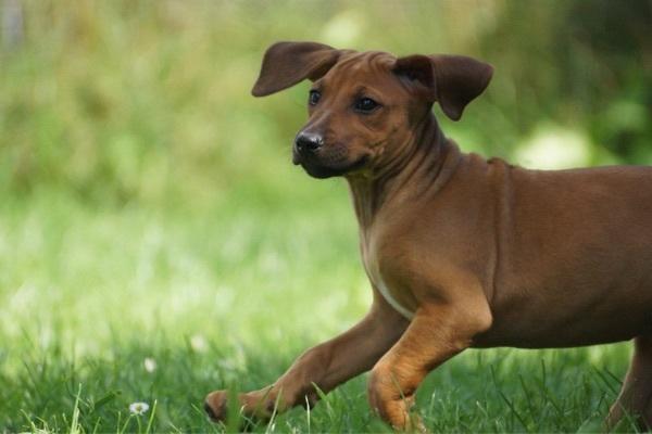 wunderschöne Rhodesian Ridgeback » Hunde