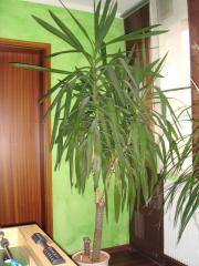 zimmerpflanze palme gebraucht kaufen nur 4 st bis 70 g nstiger. Black Bedroom Furniture Sets. Home Design Ideas
